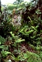 Asteraceae - Keysseria maviensis