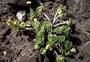 Portulacaceae - Portulaca molokiniensis