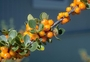 Rubiaceae - Coprosma montana