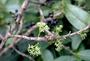 Rubiaceae - Kadua axillaris