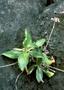 Rubiaceae - Kadua littoralis