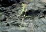 Nyctaginaceae - Boerhavia herbstii