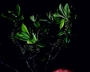 Primulaceae - Myrsine kauaiensis