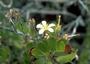 Geraniaceae - Geranium cuneatum subsp. hypoleucum