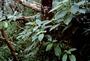 Gesneriaceae - Cyrtandra garnotiana