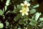 Geraniaceae - Geranium cuneatum subsp. tridens