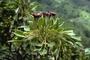Araliaceae - Polyscias bisattenuata