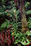 Gesneriaceae - Cyrtandra procera