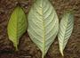 Gesneriaceae - Cyrtandra kauaiensis