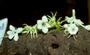 Gesneriaceae - Cyrtandra propinqua