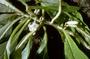 Gesneriaceae - Cyrtandra hawaiensis