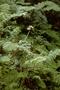 Gesneriaceae - Cyrtandra platyphylla