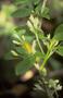 Gesneriaceae - Cyrtandra grayi