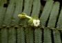 Gesneriaceae - Cyrtandra oxybapha