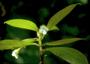 Gesneriaceae - Cyrtandra pickeringii