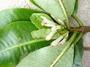 Rubiaceae - Psychotria hivaoana