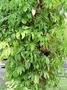Araceae - Syngonium podophyllum 'Lemon-Lime'
