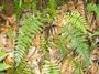 Aspleniaceae - Asplenium insiticium