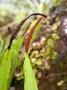 Polypodiaceae - Belvisia mucronata