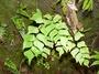 Pteridaceae - Adiantum trapeziforme
