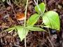 Apocynaceae - Alyxia stellata