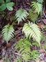 Dryopteridaceae - Arachniodes aristata