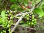Loranthaceae - Decaisnina forsteriana