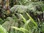 Woodsiaceae - Diplazium harpeodes
