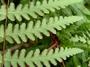 Dennstaedtiaceae - Histiopteris incisa