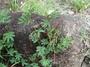 Fabaceae - Desmanthus pernambucanus