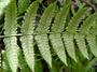 Athyriaceae - Diplazium harpeodes