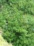 Gentianaceae - Fagraea berteroana