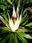 Pandanaceae - Freycinetia impavida
