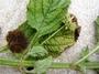 Lamiaceae - Hyptis capitata
