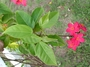 Euphorbiaceae - Jatropha integerrima