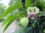Passifloraceae - Passiflora maliformis