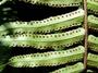 Lomariopsidaceae - Nephrolepis hirsutula