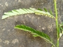 Phyllanthaceae - Phyllanthus amarus