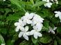 Apocynaceae - Tabernaemontana divaricata