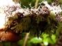 Hymenophyllaceae - Hymenophyllum digitatum