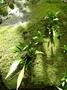 Pteridaceae - Antrophyum plantagineum
