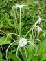 Amaryllidaceae - Hymenocallis pedalis