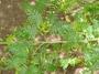 Fabaceae - Calliandra surinamensis