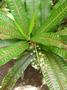 Euphorbiaceae - Codiaeum variegatum