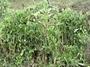 Cactaceae - Opuntia cochenillifera