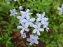 Plumbaginaceae - Plumbago auriculata