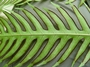 Pteridaceae - Pteris comans