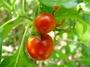 Solanaceae - Solanum viride