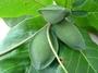 Combretaceae - Terminalia catappa