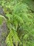 Pteridaceae - Pityrogramma calomelanos